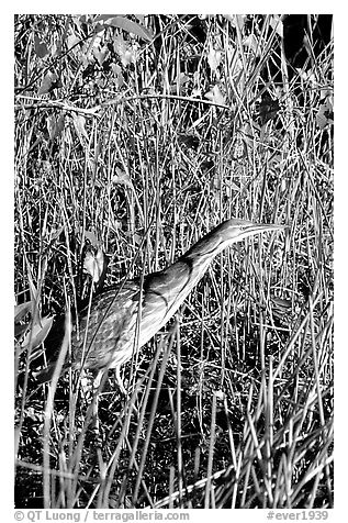 American Bittern. Everglades National Park (black and white)