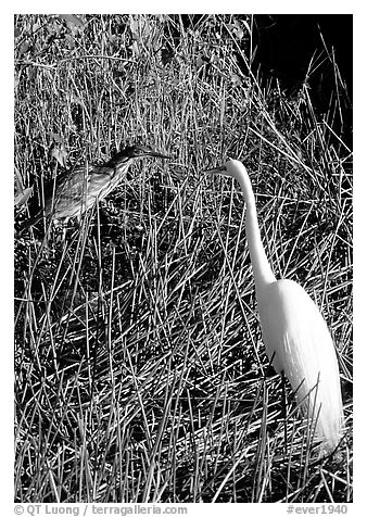 American Bittern and Great White Heron. Everglades National Park (black and white)