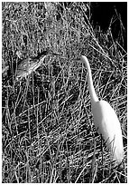 American Bittern and Great White Heron. Everglades National Park ( black and white)