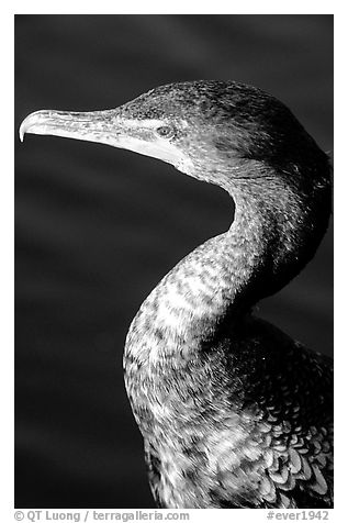 Cormorant. Everglades National Park (black and white)