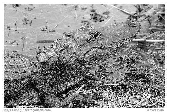 Alligator raising head. Everglades National Park (black and white)