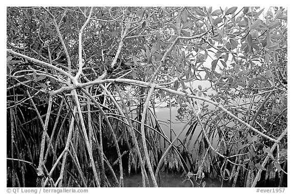Red mangroves (Rhizophora mangle) on West Lake. Everglades National Park (black and white)