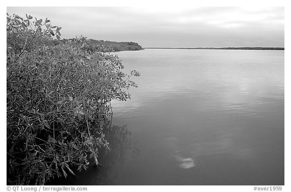 Mangrove shore of West Lake. Everglades National Park (black and white)