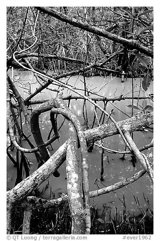 Mangroves giving the water a red color, Snake Bight trail. Everglades National Park (black and white)