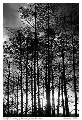 Cypress silhouettes at sunrise. Everglades National Park (black and white)