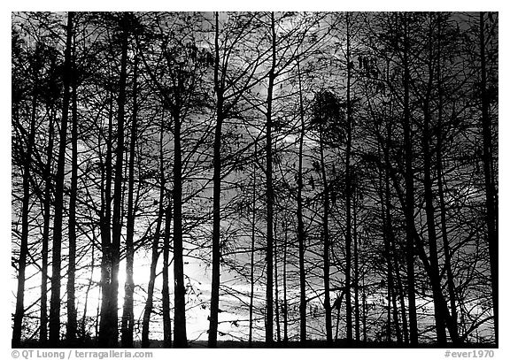 Cypress at sunrise, near Pa-hay-okee. Everglades National Park (black and white)