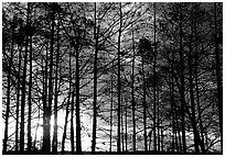 Cypress at sunrise, near Pa-hay-okee. Everglades National Park ( black and white)