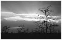 Bare cypress Cypress and sun rays, sunrise. Everglades National Park, Florida, USA. (black and white)