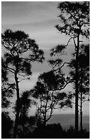 Slash pines against bright sunrise sky. Everglades National Park, Florida, USA. (black and white)
