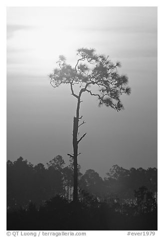 Slash pine and sun. Everglades National Park (black and white)