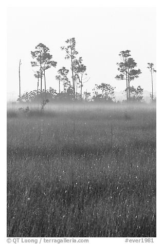 Slash pine trees, sawgrass prairie and fog at sunrise. Everglades National Park (black and white)
