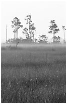 Slash pine trees, sawgrass prairie and fog at sunrise. Everglades National Park, Florida, USA. (black and white)