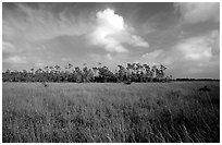 Sawgrass prairie and slash pines near Mahogany Hammock. Everglades National Park, Florida, USA. (black and white)