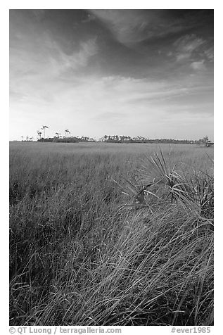 Sawgrass (Cladium jamaicense). Everglades National Park (black and white)