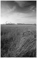 Sawgrass (Cladium jamaicense). Everglades National Park, Florida, USA. (black and white)
