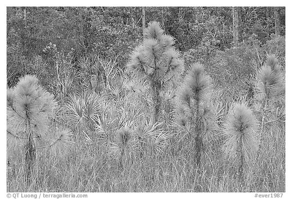 Young pines. Everglades National Park (black and white)