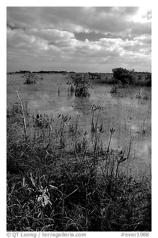 Predominantly freshwater swamp with mangrove shrubs, morning. Everglades National Park (black and white)