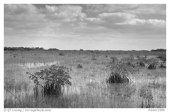 Mixed swamp environment with mangroves, morning. Everglades National Park (black and white)