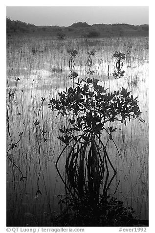 Mangroves several miles inland near Parautis pond, sunrise. Everglades National Park (black and white)