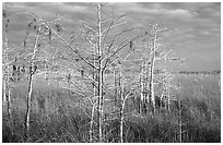 Cypress and sawgrass near Pa-hay-okee, morning. Everglades National Park, Florida, USA. (black and white)