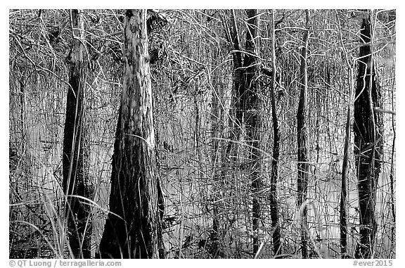 Cypress and sawgrass close-up near Pa-hay-okee, morning. Everglades National Park (black and white)