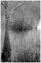 Swamp with cypress and sawgrass  near Pa-hay-okee, morning. Everglades National Park, Florida, USA. (black and white)
