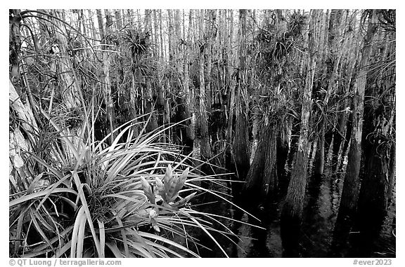 Bromeliad and cypress inside a dome. Everglades National Park (black and white)