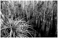 Bromeliad and cypress inside a dome. Everglades National Park, Florida, USA. (black and white)