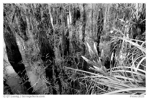 Bromeliad and bald cypress inside a dome. Everglades National Park (black and white)