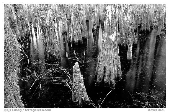 Cypress knees and trunks. Everglades National Park (black and white)
