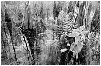 Swamp Ferns (Blechnum serrulatum) on cypress. Everglades National Park, Florida, USA. (black and white)