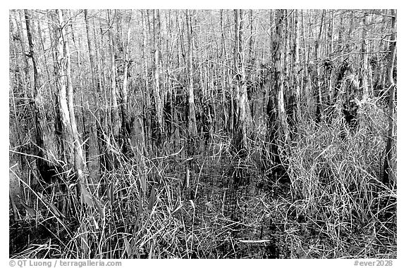 Bald cypress coloring pages ~ Black and White Picture/Photo: Bald cypress (Taxodium ...