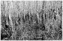 Bald cypress (Taxodium distichum). Everglades National Park, Florida, USA. (black and white)
