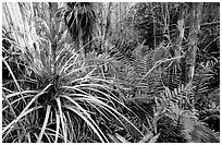 Bromeliad and swamp ferns inside a dome. Everglades National Park, Florida, USA. (black and white)