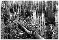 Freshwater marsh environment. Everglades National Park, Florida, USA. (black and white)