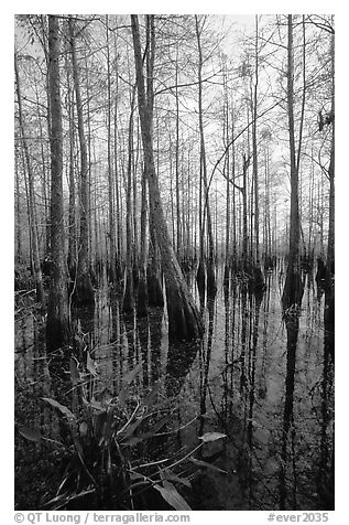 Cypress dome near Pa-hay-okee. Everglades National Park (black and white)