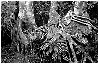 Strangler Fig (Ficus aurea) roots in tropical hardwood hammock. Everglades National Park ( black and white)