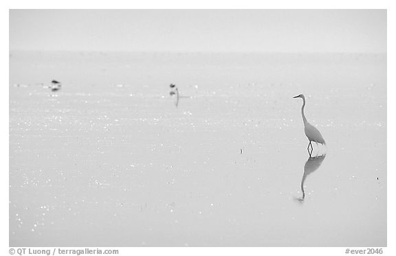Great White Heron on bayshore. Everglades National Park (black and white)