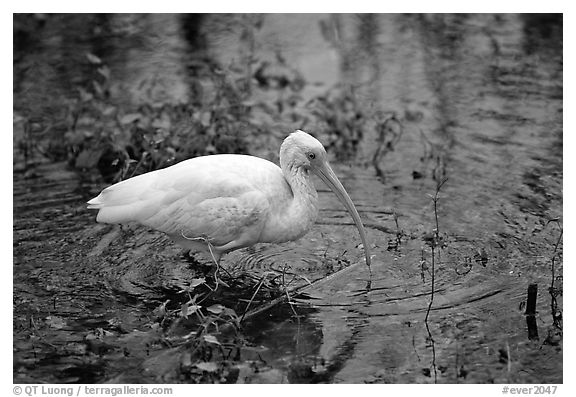 Ibis. Everglades National Park (black and white)