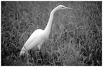 Great White Heron. Everglades National Park ( black and white)