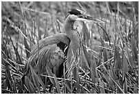 Blue heron. Everglades National Park, Florida, USA. (black and white)