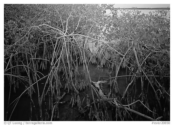 Red mangroves on West Lake. Everglades  National Park (black and white)