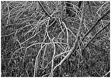 Intricate root system of red mangroves. Everglades  National Park ( black and white)