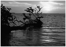 Fallen mangrove tree in Florida Bay, sunrise. Everglades  National Park ( black and white)