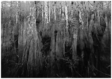 Cypress dome with trees growing out of dark swamp. Everglades National Park, Florida, USA. (black and white)