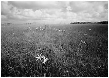 Swamp lilly and sawgrasss. Everglades  National Park ( black and white)