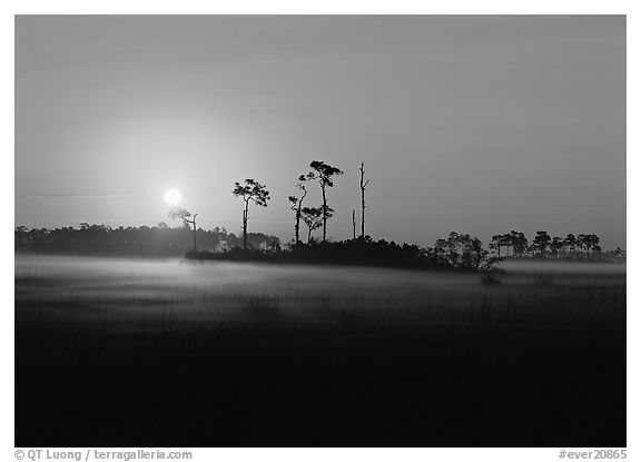 Pine trees and fog at sunrise. Everglades National Park (black and white)