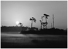 Sun rising behind group of pine trees with fog on the ground. Everglades  National Park ( black and white)
