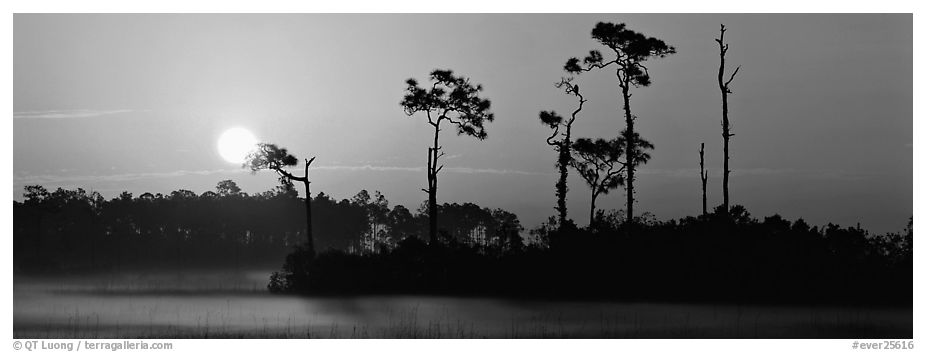 Sun rises above isolated pine trees. Everglades National Park (black and white)