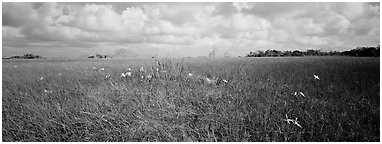 Marsh landscape with swamp lillies. Everglades National Park (Panoramic black and white)
